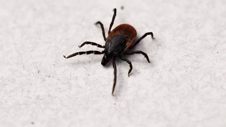 tick that causes lyme disease