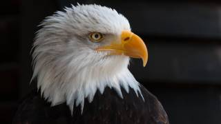 bald eagle symbol of usa strength