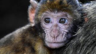 macaques monkey